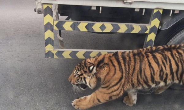 Un tigre amenaza a Catar