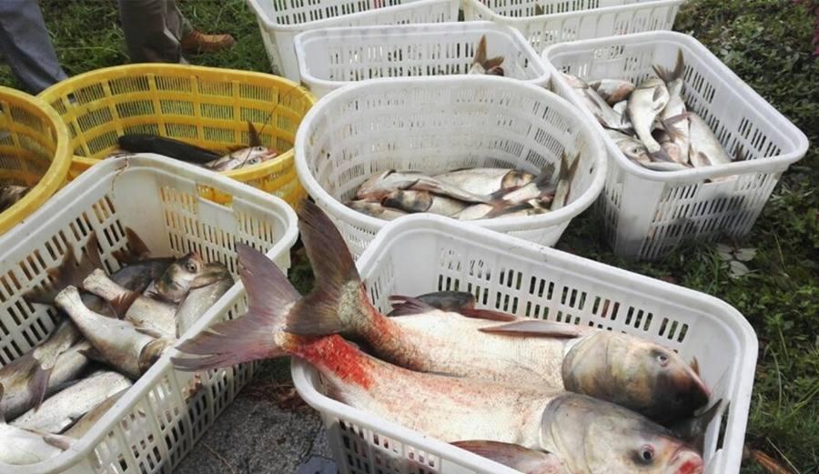 El Instituto de Tecnología de la Construcción Naval de Wuhan, en la provincia de Hubei, ofreció pescado gratuito a los trabajadores y estudiantes del centro el 24 de mayo, ya que ese día se capturó un gran número de peces en el lago del campus para manten