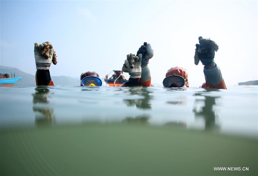 """Los pescadores logran una grata """"cosecha"""" de pepinos de mar en Dalian"""
