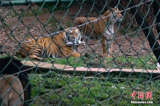 Furiosos tigres capturan un intruso en Chongqing