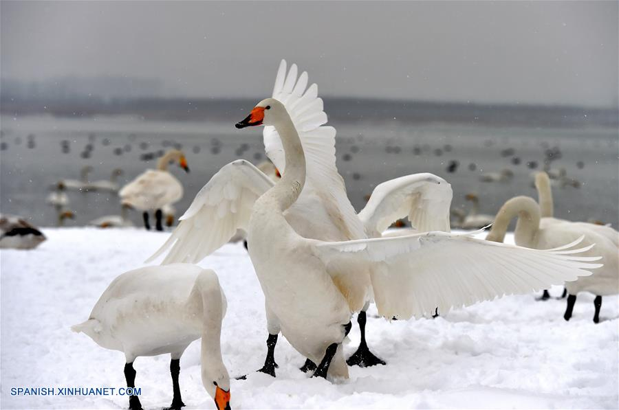 Gobierno local alimenta a cisnes cantores tras grandes nevadas en norte de China