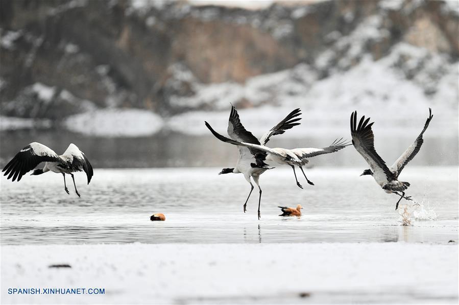 El Tíbet es actualmente el hogar temporal de más de 8,000 grullas de cuello negro.