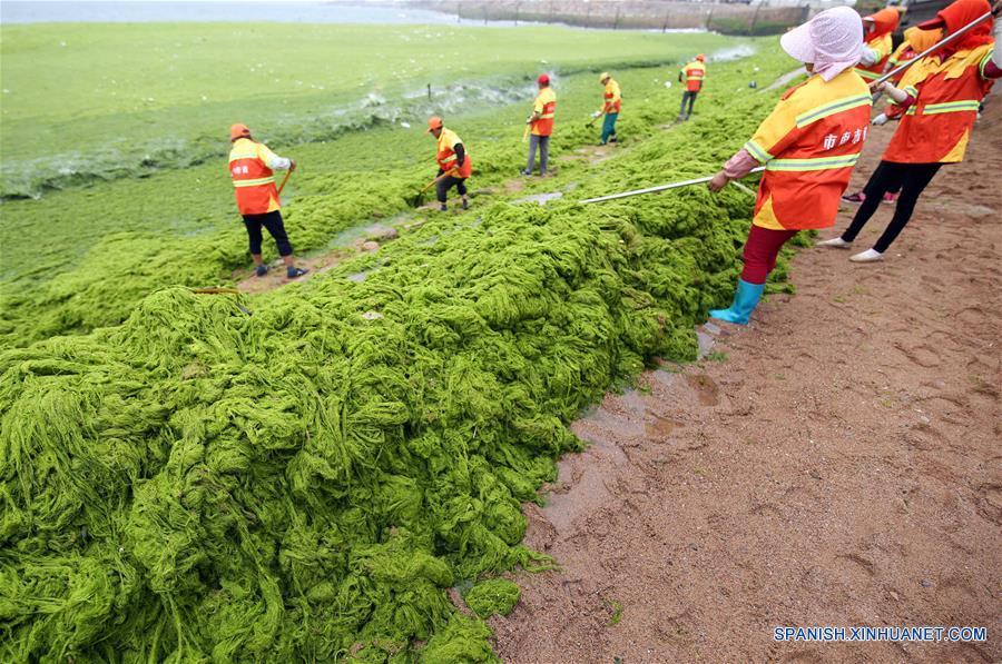 Quitan lechugas marinas esparcidas en Qingdao