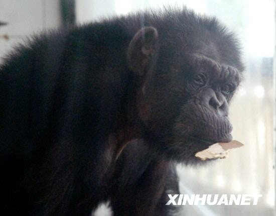 Exitosa inseminación artificial en chimpacé en un Zoo de China