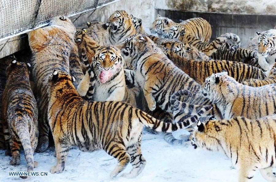 Fotos de tigres siberianos 36