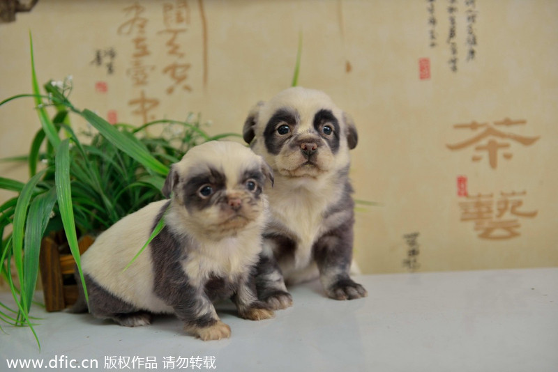 Nacen perritos con aspecto de panda en China